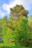 Pino en un fondo del día soleado del cielo azul Fotografía de archivo