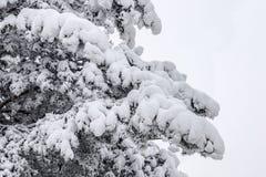 Pino en una nieve Imagenes de archivo