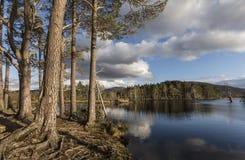 Pino escocés en el lago Mallachie Imagen de archivo