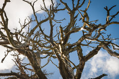 Pino escocés, sylvestris del pinus Fotos de archivo libres de regalías