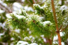 Pino, filiali di albero dell'abete con neve Immagini Stock
