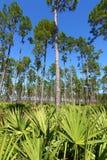 Pino Flatwoods - la Florida Fotografía de archivo libre de regalías