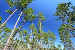 Pino Flatwoods - la Florida Imágenes de archivo libres de regalías