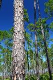 Pino Flatwoods - la Florida Fotos de archivo