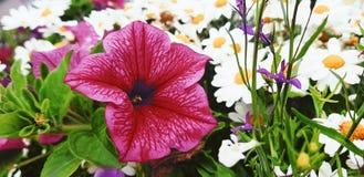Pino Flower immagini stock libere da diritti