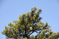 Pino, foglia del pino, pino, verde del pino Immagini Stock
