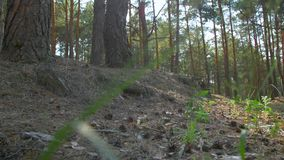 Pino Forest Low Angle video d archivio