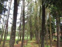 Pino Forest Park Imagen de archivo