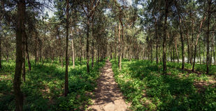 Pino Forest Path Mirgorod recurso Panorama Imagen de archivo