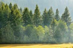 Pino Forest During Rainstorm Lush Trees fotografia stock