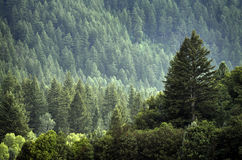Pino Forest During Rainstorm Lush Trees imágenes de archivo libres de regalías