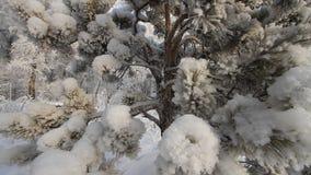 Pino Forest In Winter metrajes