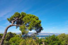Pino gentile Mediterraneo Fotografia Stock Libera da Diritti