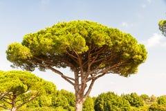 Pino gentile o Pinus pinea Fotografie Stock