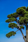 Pino giapponese, pinus densiflora Fotografia Stock Libera da Diritti