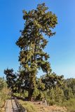 Pino Gordo, biggest Canary Island pine Pinus canariensis tree in the world. 45 meters high and approximately 700 years old.  royalty free stock photo