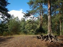 Pino grande del bosque ruso Fotos de archivo