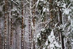 Pino innevato bianco nella foresta Immagini Stock Libere da Diritti