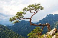 Pino, la maggior parte del albero famoso in montagne di Pieniny immagini stock