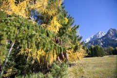 Pino montano con le pigne ed i colori di autunno Fotografia Stock Libera da Diritti
