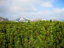 Pino montano, montagne carpatiche, Ucraina, Europa fotografia stock libera da diritti