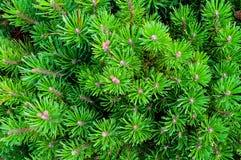 Pino montano - vista naturale del primo piano Pino montano nano verde intenso Immagini Stock