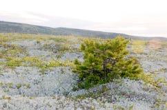 Pino mugo nella tundra artica Fotografia Stock