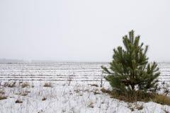 Pino nel campo nell'inverno fotografia stock