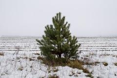 Pino nel campo nell'inverno fotografie stock