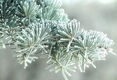 Pino nel gelo Fotografia Stock