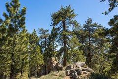Pino nel mazzo di Boulder Fotografia Stock Libera da Diritti