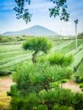 Pino nell'azienda agricola del tè Fotografie Stock Libere da Diritti