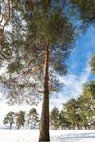Pino nella foresta Immagine Stock Libera da Diritti