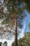 Pino nella foresta Immagine Stock