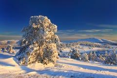 Pino nevado en el bosque Fotografía de archivo libre de regalías