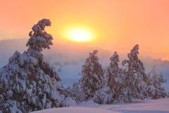 Pino nevado en el bosque Imagen de archivo