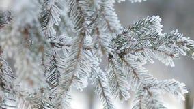 Pino nevoso di inverno Scena di natale Ramo dell'abete coperto di paese delle meraviglie del gelo Neve sulla filiale Umore di inv archivi video
