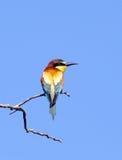 Pino-pájaro Imagen de archivo libre de regalías