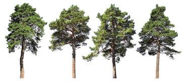 Pino, picea, abeto Sistema conífero del bosque de árboles aislados en el fondo blanco fotos de archivo