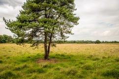 Pino scozzese su un grande campo dell'erica Fotografie Stock