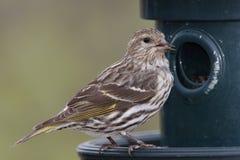 Pino Siskin en un alimentador del pájaro - Ontario, Canadá Fotos de archivo