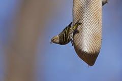 Pino Siskin (pinus del pinus del Carduelis) Fotografia Stock