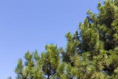 Pino sobre el cielo Imagen de archivo libre de regalías