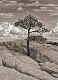 Pino solitario en los Badlands Fotografía de archivo