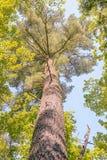 Pino solitario, santuario de la naturaleza de los pinos de Estivant, MI Fotografía de archivo