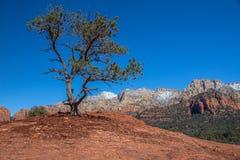 Pino solo e torto e montagne rosse della roccia, Sedona, AZ Immagine Stock Libera da Diritti