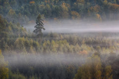 Pino solo en una niebla Foto de archivo libre de regalías