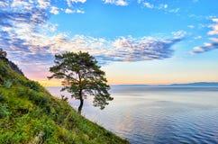 Pino solo sul pendio verde della costa ovest il lago Baikal Immagine Stock