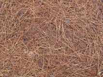 Pino Straw Covered Forest Floor Fotos de archivo libres de regalías