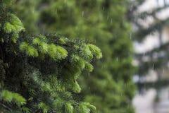 Pino su pioggia Immagine Stock